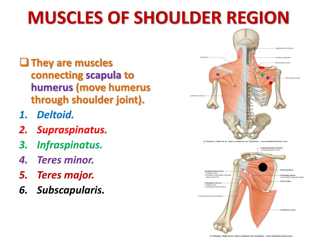 musculature of shoulder region